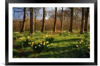 Graves Park Daffodils, Sheffield, Framed Mounted Print