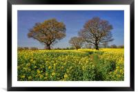 Rapeseed field & Trees, Derbyshire, Framed Mounted Print