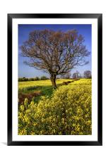 Rapeseed field and Lone Tree , Framed Mounted Print