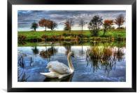 Lonely swan, Framed Mounted Print