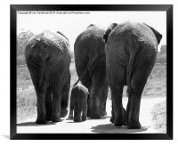 Elephants bums, Framed Print