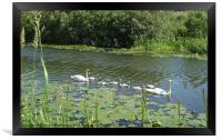 Swan family on the canal, Framed Print