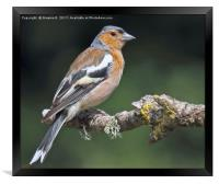 Male Chaffinch 4, Framed Print
