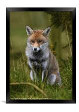 Young Fox, Framed Print