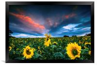 Sunflowers, Framed Print