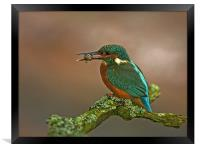 Kingfisher on Lichen perch., Framed Print