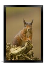 Red Squirrel on rustic log., Framed Print