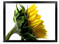 Young Sunflower, Framed Print