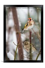 Goldfinch on a snow day, Framed Print