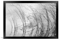 Reeds reflected in the water, Framed Print