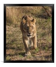 Lioness in Kruger, Framed Print