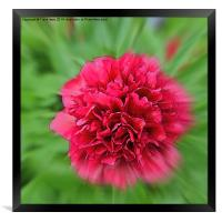 Artistic picture of a Peony in full bloom., Framed Print