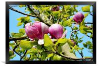 A branch of a large Magnolia Tree., Framed Print