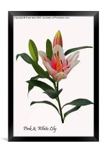 Beautiful pinkish Lily, Framed Print