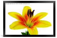 Beautiful Yellow Lily close up, Framed Print