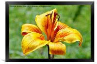 Yellow Lily in semi close-up, Framed Print