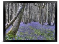 Bluebells near Challock, Framed Print