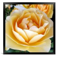 The Yellow Rose, Framed Print
