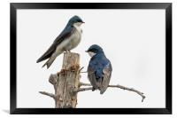 Tree Swallow times Two, Framed Print