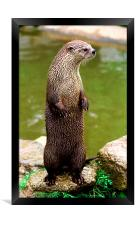 JST2830 British or European Otter, Framed Print