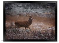 Wild Red Deer Stag, Framed Print