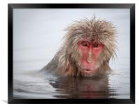 Curley (Japanese Macaque), Framed Print