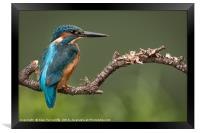 Male kingfisher, Framed Print
