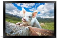 Cute Pig Looks Out On To The Wide World, Framed Print
