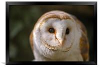 Barn Owl looking forward, Framed Print