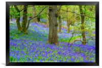Beautiful bluebells in the forest of Scotland, Framed Print