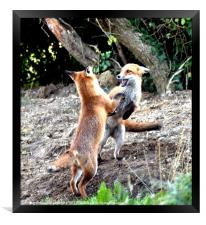 The Frolickings of two young fox cubs, Framed Print