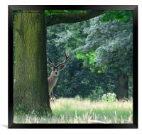 Curious red stag deer, Framed Print