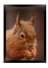 Red Squirrel III, Framed Print
