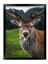 Stag Portrait in the Highlands of Scotland , Framed Print