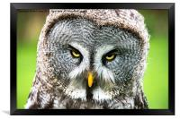 Angry Great Gray Owl , Framed Print