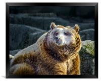 Grizzly, Framed Print