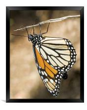 Monarch Butterfly, closeup on a twig, Framed Print