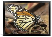 Monarch Butterfly closeup and personal, Framed Print