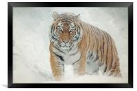 Tiger in the snow, Framed Print