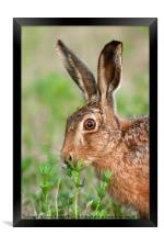 Wild brown hare close up eating, Framed Print