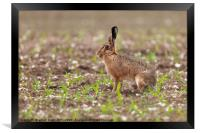 Brown hare at in a field of crops, Framed Print
