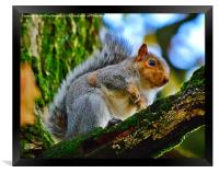 grey squirrel, Framed Print