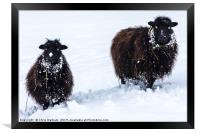 Two black sheep in the snow, Framed Print
