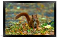 Red squirrel in the park., Framed Print