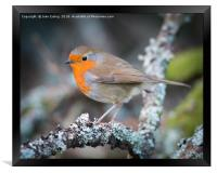 Red breast, Framed Print