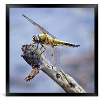Four-spotted Chaser Dragonfly - Libellula quadrima, Framed Print