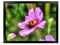 Bumble Bee on Pink Cosmos, Framed Print