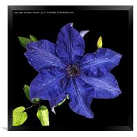 Clematis after the rain, Framed Print