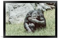 African Chimpanzee Hiding His Face, Framed Print