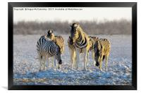 Group of zebras at waterhole at first light, Framed Print